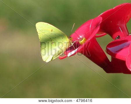 Yellow Butterfly On Hummingbird Feeder