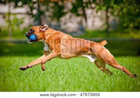 german boxer dog running with a toy in his mouth