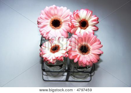 Pink Gerbras On Grey Background