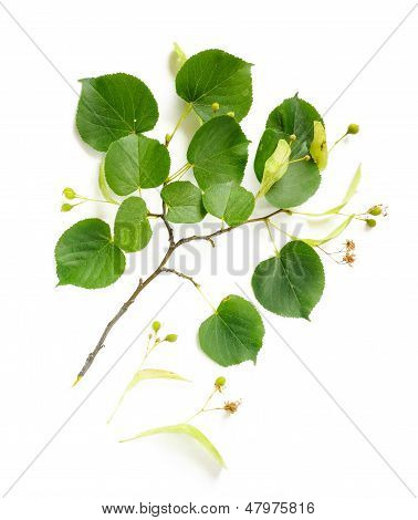 Tilia (lime-tree) Branch With Flowers And Fruit