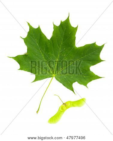Maple Tree (acer Platanoides) Leaf With Fruit (samara)