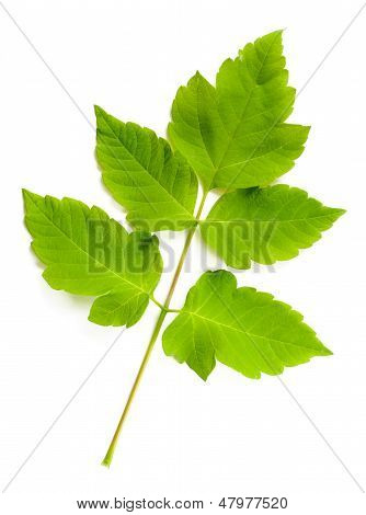 Maple Tree (cultivar) Leaves
