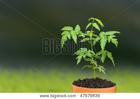 Young siamese neem sprout seed on plant pot.