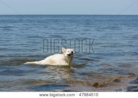 White Swiss Shepherd Brings Back A Branch Out Of The Water