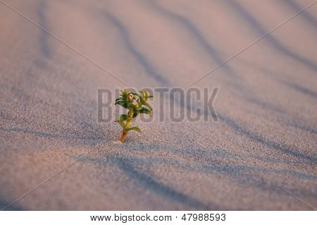 alone sedum sprout in sand on beach sunset