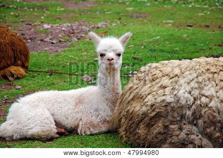 Baby alpaca lounging with mother