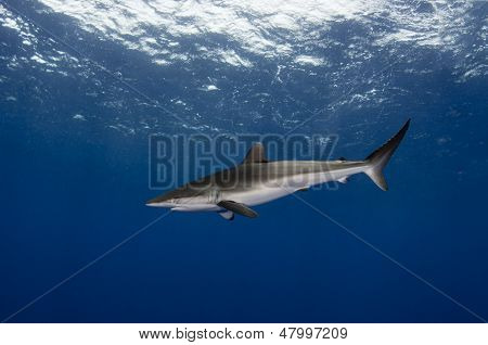 Silky Shark In The Open Ocean