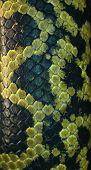 Постер, плакат: Змеиной кожи черный и зеленый