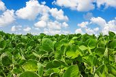 stock photo of soy bean  - Landscape with field of young soybean plants and blue sky - JPG