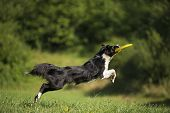 stock photo of border collie  - Border collie catching frisbee close up shoot - JPG