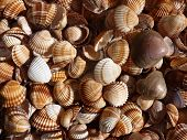 foto of larnaca  - collection of shells found on beach of Larnaca bay - JPG