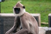 picture of hanuman  - Thoughtful hanuman langur in anciet city of Anuradhapura - JPG