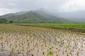 Taro Fields