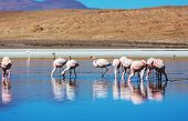 stock photo of eduardo avaroa  - flamingo in Bolivia - JPG