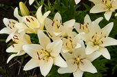 stock photo of asiatic lily  - floral group of growing yellow lilies plants - JPG