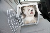 stock photo of crate  - Small dog maltese sitting safe in the car on the back seat in a safety crate - JPG