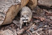 stock photo of raccoon  - raccoon  - JPG