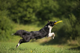 stock photo of frisbee  - Border collie catching frisbee close up shoot - JPG