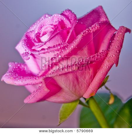 Pink Rose close up with droplets on petals with lilac background