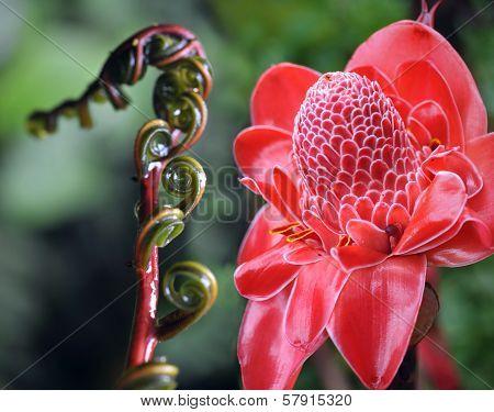 Closeup Of Plant From  Jungle Torch Ginger, Phaeomeria Magnifica. Amazonia, Ecuador