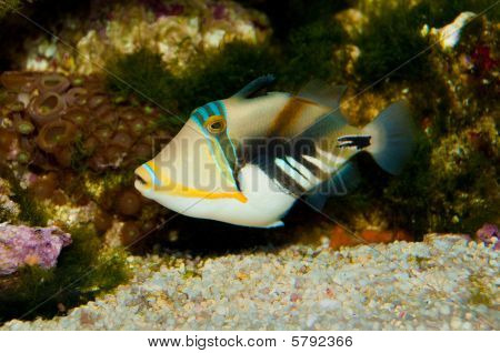 Picasso Triggerfish in Aquarium