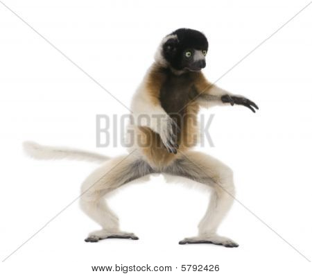 Young Crowned Sifaka, Propithecus Coronatus, 1 Year Old, Dancing, Studio Shot