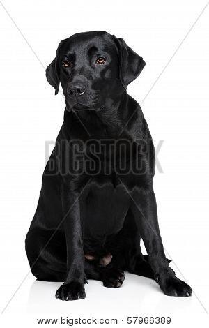 Black Labrador Retriver Dog
