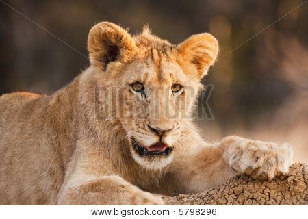Male Lion Cub At Rest