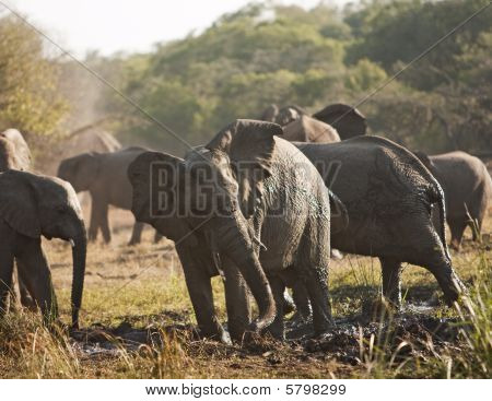 Elephant Herd In Mud Bath