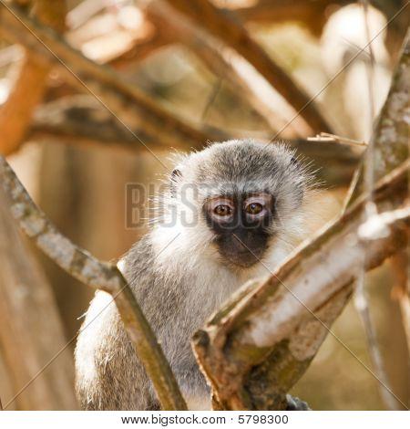Vervet Monkey Watching Me