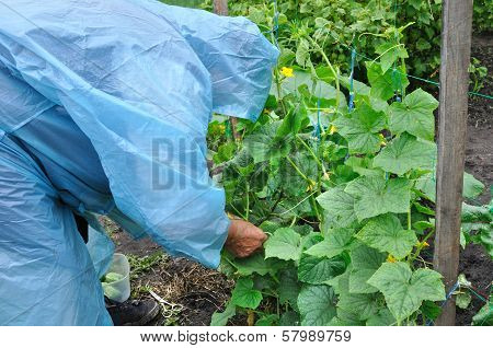 Senior Woman Working In The Cucumber Plantation
