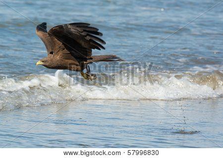 Black Kite (milvus Migrans) Scooping Up A Fish Head