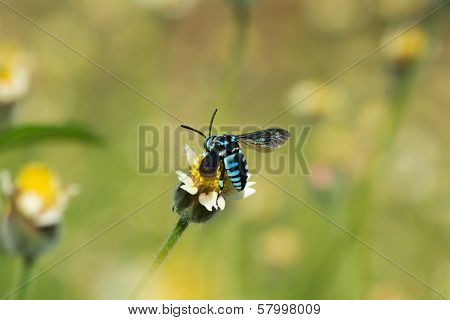 Blue Cleptoparasite Bee On A Small Flower