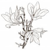 image of japanese magnolia  - Vector illustration of Drawing spring magnolia blossoms - JPG