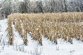 pic of corn stalk  - Corn stalks are surrounded by winters