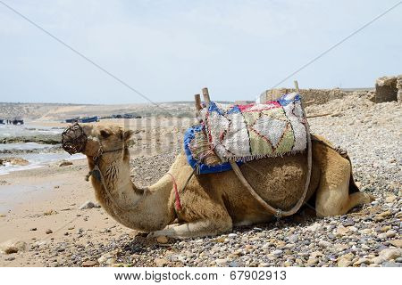 Morocco Camel Resting