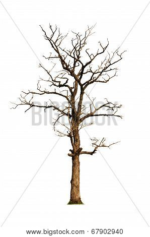 Old And Dead Tree, Isolated On White