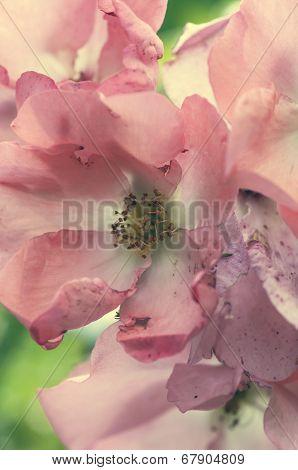 Wild Rose Blossoms