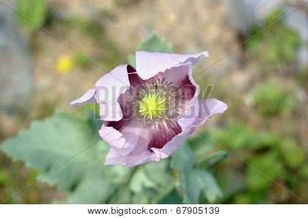 Pink garden poppy flower