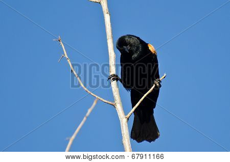 Curious Red-winged Blackbird Perched On A Branch