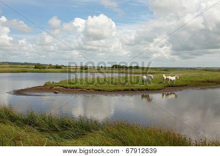 Marsh Ponies.