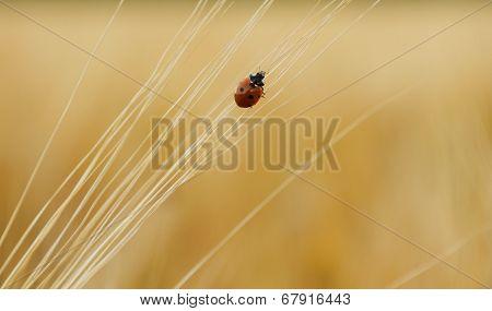 Ladybug On Wheat Ears Goes Up