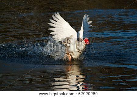 Duck Running On Water