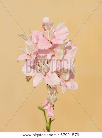 Delicate pink Larkspur flowering against light orange background