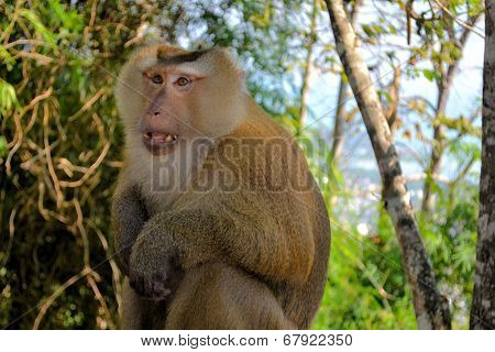 crab-eating macaque monkey Asia Thailand