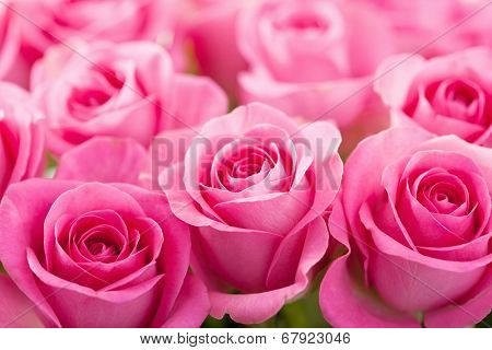 beautiful pink rose flowers background