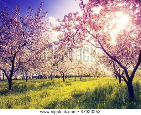 Blossoming apple orchard in spring and blue sky. Retro filtered. Instagram effect. Ukraine, Europe. Beauty world.