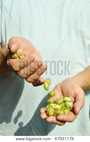 Hands Of The Brewer And  Hop