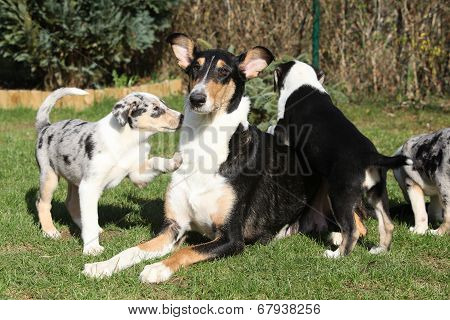 Bitch Of Collie Smooth With Its Puppies Lying In The Garden