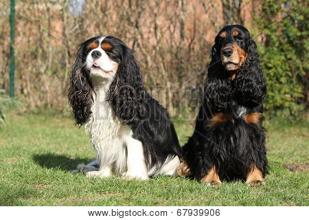 Cavalier King Charles Spaniel With English Cocker Spaniel In The Garden